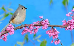 A Tufted Titmouse At Flowering Redbud Royalty Free Stock Image