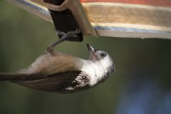 Tufted titmouse acrobatics Royalty Free Stock Image