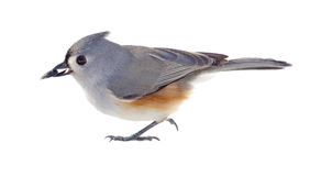 Tufted Titmouse Isolated Stock Photography