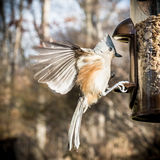 Tufted Titmouse Landing on a Bird Feeder Stock Images
