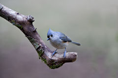 Tufted Titmouse on Limb Royalty Free Stock Photos
