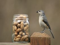 Tufted Titmouse. These little birds are so cute Stock Photography