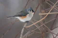 Tufted Titmouse on a Natural Perch. In a tree in the winter Stock Image