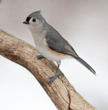 Tufted Titmouse on a Natural Rotted Wood Perch. Tufted Titmouse Posing on a Natural Rotted Wood Perch Royalty Free Stock Photos