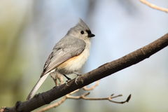 Tufted Titmouse - Ontario, Canada Stock Photo