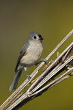 Tufted Titmouse (Parus bicolor) Stock Photos