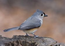 Tufted Titmouse (Parus bicolor) Royalty Free Stock Image