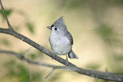 Tufted Titmouse, Parus bicolor Royalty Free Stock Image