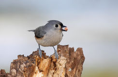 Tufted Titmouse with a Peanut Royalty Free Stock Photos