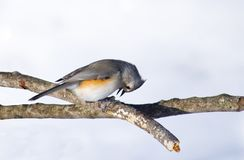 Tufted Titmouse Bird Pecks at Seed. Tufted titmouse (Baeolophus bicolor) pecks at at the hull of a seed, held by it feet,   against a winter snow background Stock Photography