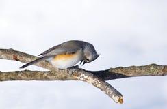 Tufted Titmouse Bird Pecks at Seed Stock Photography