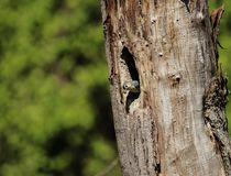A Tufted Titmouse peering from a hole in a tree. royalty free stock photos