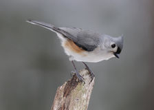 Tufted Titmouse on a Perch. A Tufted Titmouse (Baeolophus bicolor) on a perch Royalty Free Stock Photography