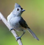 Tufted titmouse perched. On branch Stock Photography