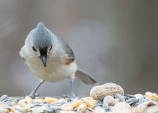 Tufted Titmouse Perched Stock Photo