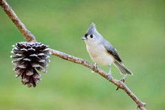 Tufted Titmouse. A tufted titmouse perched on a branch Royalty Free Stock Image
