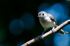 Tufted Titmouse Perched on a Branch Royalty Free Stock Images