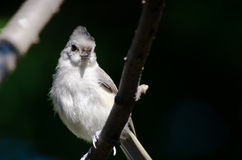 Tufted Titmouse Perched on a Branch Stock Photo
