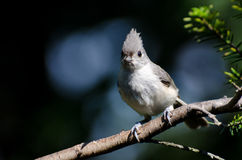Tufted Titmouse Perched on a Branch Royalty Free Stock Photos