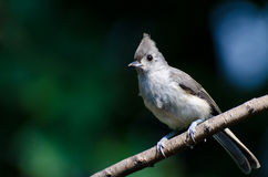 Tufted Titmouse Perched on a Branch Stock Images