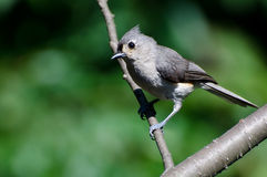 Tufted Titmouse Perched on a Branch Royalty Free Stock Photography