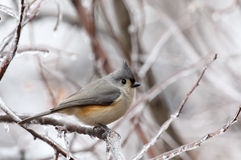 Tufted Titmouse Perched on Frozen Branch Royalty Free Stock Image