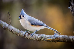 Tufted Titmouse. A Tufted Titmouse perched in late fall Stock Photos