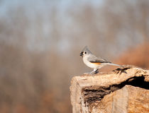 Tufted Titmouse perched on a log Stock Photos