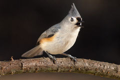 Tufted Titmouse. A Tufted Titmouse, perched on this plum branch, is calling to other Titmice in the area Royalty Free Stock Photography