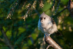 Tufted Titmouse Perched in a Tree Stock Images