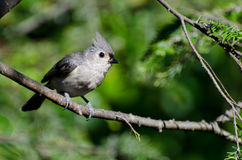 Tufted Titmouse Perched in a Tree Stock Image