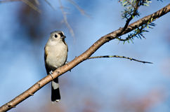 Tufted Titmouse Perched in a Tree Stock Photography