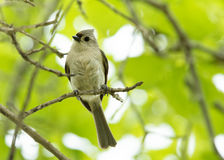 Tufted Titmouse perched on a twig stock photos