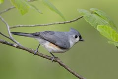 Tufted Titmouse perched in witch hazel Royalty Free Stock Image