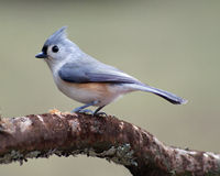 Tufted Titmouse Perching on a Branch Stock Photography