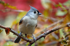 Tufted Titmouse. A tufted titmouse (Baeolophus bicolor) perching on a branch in Fall Stock Photo