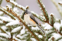 Tufted Titmouse in a Pine Tree Royalty Free Stock Photo