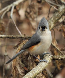 Tufted Titmouse Portrait. Closeup of tufted titmouse on a branch Royalty Free Stock Photos