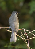 Tufted Titmouse Portrait. Tufted Titmouse perching on a branch, mottled green background Royalty Free Stock Image