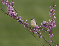 Tufted Titmouse Posing in Redbud Blossoms Stock Photos