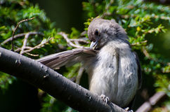Tufted Titmouse Preening Its Royalty Free Stock Photos