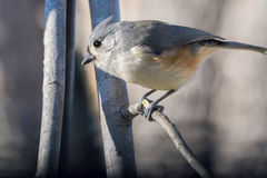 Tufted titmouse. Profile of a tufted titmouse sitting on a branch with a blurred dreamy background Royalty Free Stock Photo