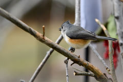 Tufted titmouse. Profile of a tufted titmouse sitting on a branch with a blurred dreamy background Stock Photos