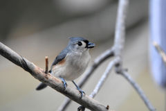Tufted titmouse. Profile of a tufted titmouse sitting on a branch with a blurred dreamy background Stock Photo