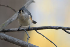 Tufted titmouse. Profile of a tufted titmouse sitting on a branch with a blurred dreamy background Royalty Free Stock Images