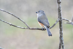 Tufted titmouse. Profile of a tufted titmouse sitting on a branch with a blurred dreamy background Stock Photography