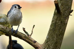 Tufted titmouse. Profile of a tufted titmouse sitting on a branch with a blurred dreamy background Stock Image