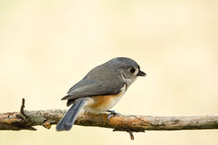 Tufted titmouse. Profile of a tufted titmouse sitting on a branch with a blurred dreamy background Royalty Free Stock Image