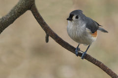 Tufted titmouse. Profile of a tufted titmouse sitting on a branch with a blurred dreamy background Stock Images