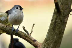 Tufted titmouse. Profile of a tufted titmouse sitting on a branch with a blurred dreamy background Royalty Free Stock Photos